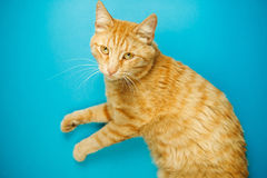 Careless redhead pussy cat isolated on blue background. Red cute cat with indifferent face looking in camera. Careless red-headed pussy fat feline with long Stock Photos