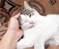 Caress the cat with her hand on the couch.  Royalty Free Stock Photo