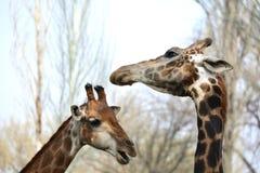 Caresse masculine et femelle de girafe Image stock