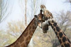 Caresse masculine et femelle de girafe Image libre de droits