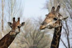 Caresse masculine et femelle de girafe Images stock