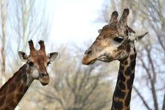 Caresse masculine et femelle de girafe Photographie stock libre de droits