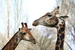 Caresse masculine et femelle de girafe Photos libres de droits
