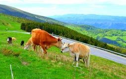 Caresses maternelles de vache Image libre de droits