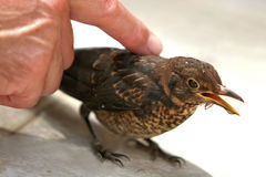 Caressing a bird. Caressing a poor bird - starling stock photography