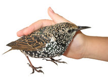 Caressing a bird, isolated. Hand of a child gently fondling - caressing a bird Common Starling, isolated on a white. PNG format avalaible in full transparent stock images