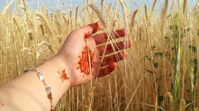 Caressing the ears of wheat. Caressing the ears of yellow wheat with my hand colored with henna royalty free stock photos
