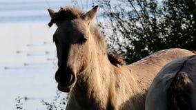 Caressing Konik horses, Bisonbaai, Netherlands stock video footage