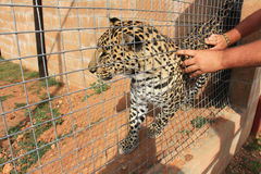 Caressing a leopard in a cage Royalty Free Stock Image