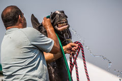 Caretaker Washes Horse With Hose Royalty Free Stock Photography