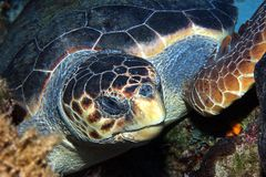 Caretta Royalty Free Stock Image