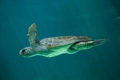 Caretta Caretta морской черепахи морской черепахи стоковая фотография