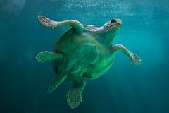Caretta Caretta морской черепахи морской черепахи стоковые изображения
