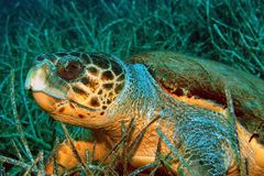 Caretta Caretta - Sea turtle Stock Photo