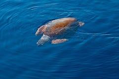 Caretta caretta che nuota Fotografia Stock Libera da Diritti