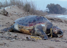 Caretta Caretta dood op strand royalty-vrije stock fotografie