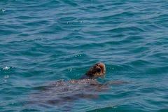 Caretta Caretta-Schildkrötenschwimmen in der Bucht Laganas, Zakynthos, Greec Stockbilder