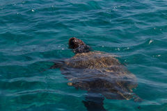 Caretta Caretta-Schildkrötenschwimmen in der Bucht Laganas, Zakynthos, Greec Stockfotos