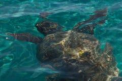 Caretta Caretta-Schildkrötenschwimmen in der Bucht Laganas, Zakynthos, Greec Lizenzfreies Stockbild