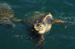 Caretta caretta, sea turtle in harbor of Argostoli, Kefalonia, Ionian Islands, Greece Stock Images