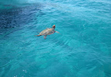 Caretta-Caretta Sea turtle on Zante island, Laganas, Greece Royalty Free Stock Photo