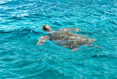 Caretta caretta swimming Royalty Free Stock Images
