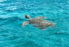 Caretta caretta swimming. Loggerhead sea turtle (Caretta caretta) swimming, Zakynthos island, Greece royalty free stock images