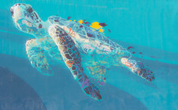 Caretta caretta turtle. Turtle caretta caretta drawn into the clear blue sea Stock Images