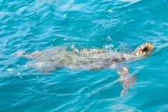 Caretta Caretta turtle in Laganas Zakynthos Greece. Stock Image