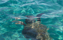 Caretta caretta turtle swim in the bay Laganas, Zakynthos, Greec Stock Photography