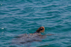 Caretta caretta turtle swim in the bay Laganas, Zakynthos, Greec Stock Images