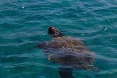 Caretta caretta turtle swim in the bay Laganas, Zakynthos, Greec Stock Photos
