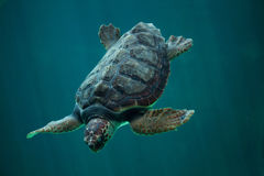 Caretta de Caretta de tortue de mer d'imbécile photographie stock libre de droits