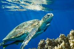 Caretta de Caretta de tortue de mer d'imbécile sur le récif coralien - la Mer Rouge photos libres de droits