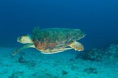 Caretta de Tortue-Caretta de mer d'imbécile Image libre de droits