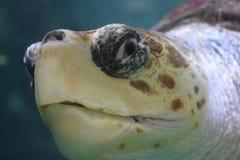 Caretta del Caretta de la tortuga de mar del necio foto de archivo