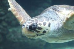 Caretta del Caretta de la tortuga de mar del necio fotos de archivo libres de regalías