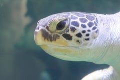 Caretta del Caretta de la tortuga de mar del necio imágenes de archivo libres de regalías