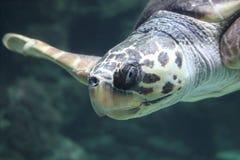 Caretta del Caretta de la tortuga de mar del necio imagen de archivo libre de regalías