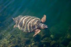 Caretta för Caretta för havssköldpadda i fjärden av Argostoli på den grekiska ön Kefalonia arkivfoton