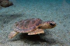 Caretta för Caretta för Loggerheadhavssköldpadda, också som är bekant som loggerheaden Löst livdjur royaltyfria bilder