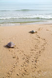 caretta kłótni morza żółwie obraz stock