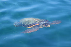 Caretta loggerhead sea turtle. Caretta caretta loggerhead sea turtle swimming underwater in Zakynthos Greece. Endangered animal species royalty free stock photo