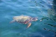 Caretta sea turtle Stock Images