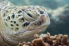 Caretta turtle close up portrait Stock Image
