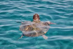 Caretta Caretta Turtle from Zakynthos. Greece, near  Laganas beach, emerges to take a breath royalty free stock images