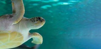 Carettaen för carettaen för Loggerheadhavssköldpaddan svävar i vattnet kopiera avstånd komisk mustext för katt royaltyfri fotografi