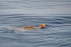 Carettaschildpad dichtbij overzeese oppervlakte voor ademhaling royalty-vrije stock foto