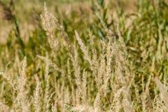 Carex d'herbe sèche Images stock
