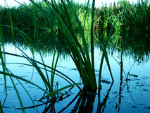 Carex dans l'eau Image libre de droits